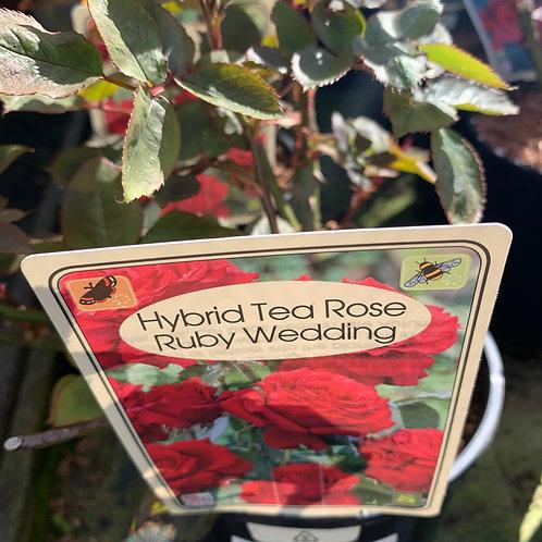 'Ruby Wedding' HT