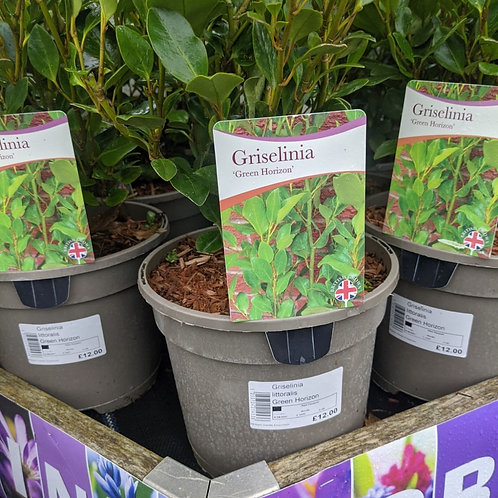 Griselinia Green Horizon