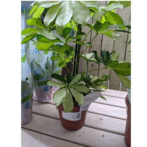 Schefflera arboricola - Umbrella Plant