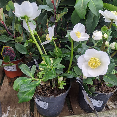 Helebore Christmas Rose
