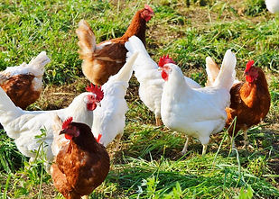brown and white chickens on grass.jpg