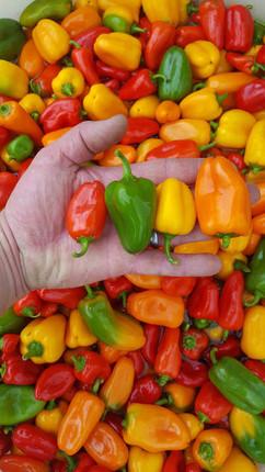 lnchbox peppers.jpg
