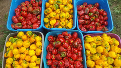 sweet peppers_edited.jpg