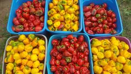 sweet peppers_edited.jpg