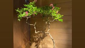 新しい盆栽です。