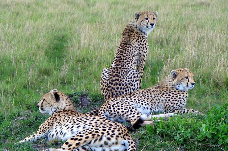 Kenya-Cheetahs
