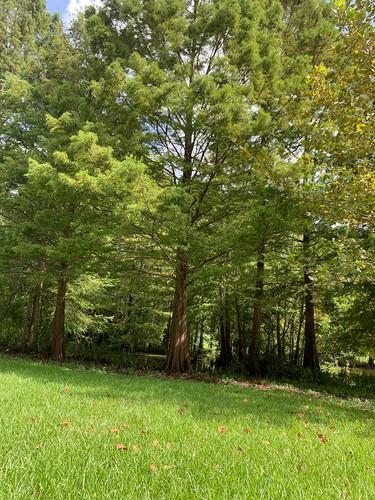 cypress-tree-1jpg