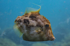 A Planehead filefish (Stephanolepis hispidus)