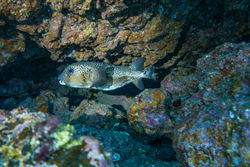 A spotted burrfish (Chilomycterus reticulatus) - a protected species