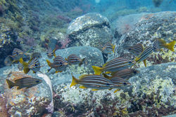 African Striped Grunts (Parapristipoma octolineatum)
