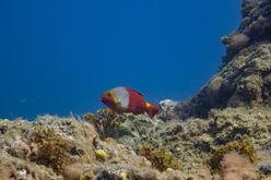 A Parrotfish female (Sparisoma cretense)