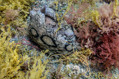 A spotted seahare laying eggs (Aplysia dactylomela)