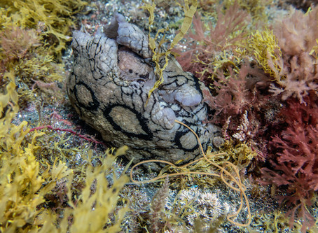 The Fast and Fervent Life of a Spotted Sea Hare
