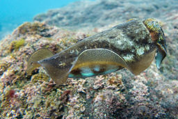 A Common cuttlefish (Sepia officinalis)