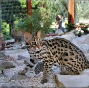 _light-351630-le-chat-leopard-du-bengale