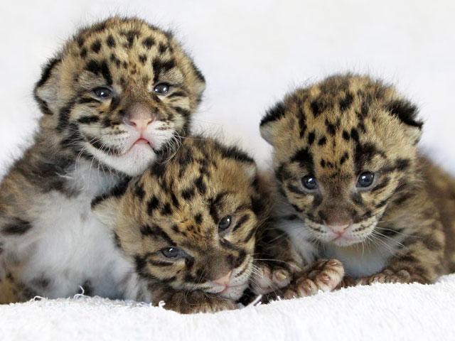 baby-leopard.pic640d