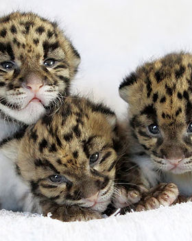 baby-leopard.pic640d.jpg