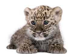 baby-leopard