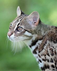 Chat-leopard-du-bengale-2-1024x683.jpg
