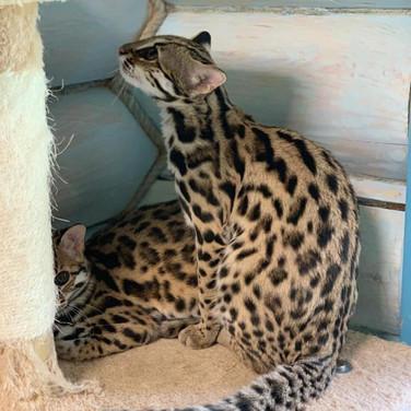 Léopard d'Asie (Bengalensis) ALC