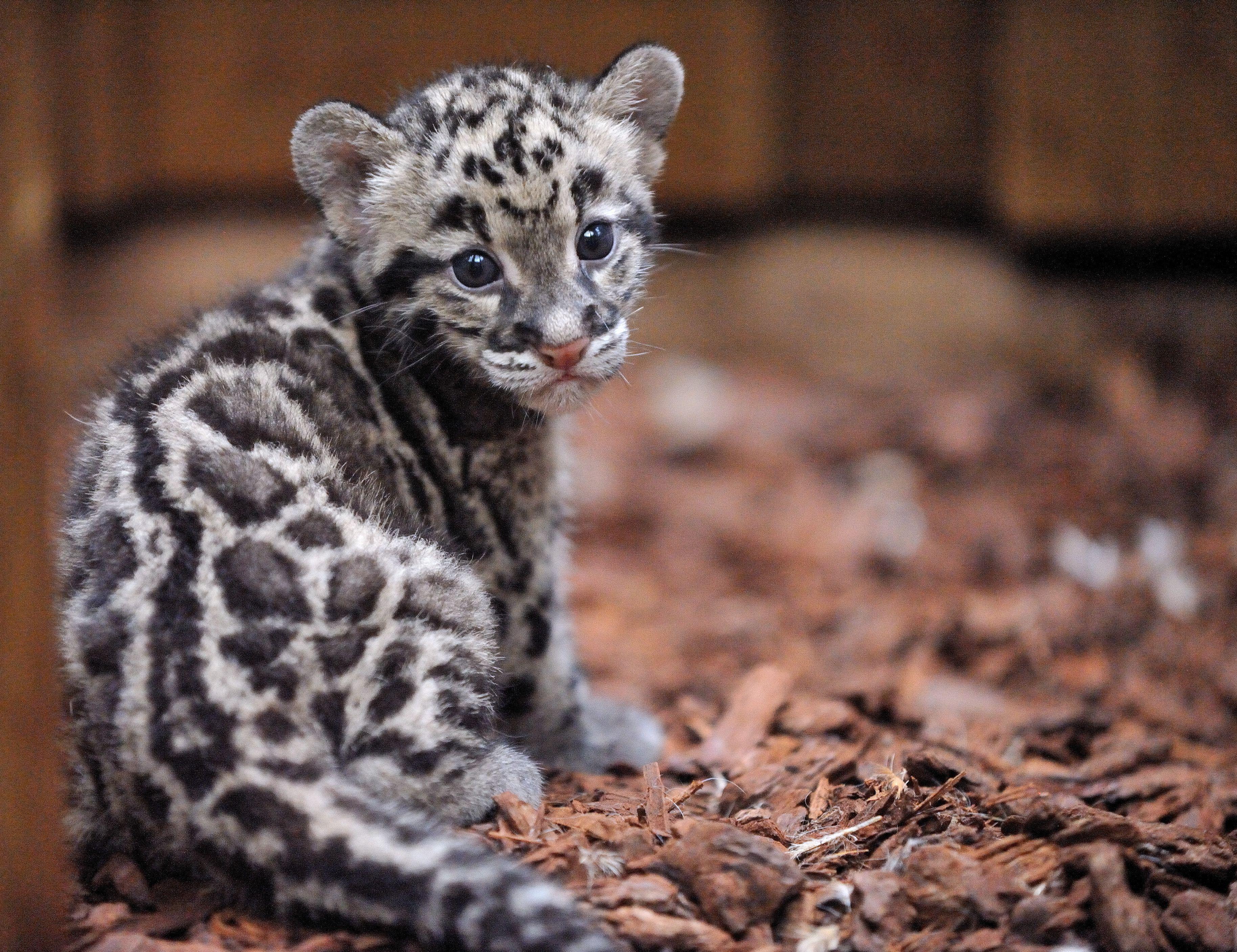 Panthere-longiband