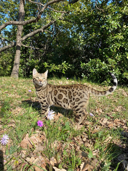 ryder bengal chat euthentic bengal chatterie familliale