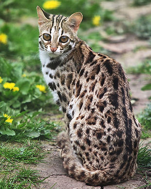 leopard-cat-looking-back-fred-hood.jpg