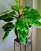 _light-1226_2918-les-philodendrons.jpg