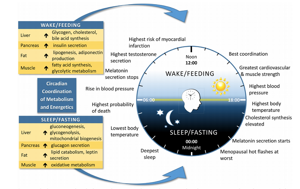 Circadian Cycle in Humans