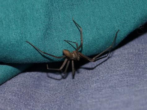 Curitiba registra até 9 casos de picadas de aranha-marrom nos meses mais quentes