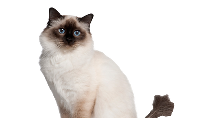 gatto-sacro-di-birmania-%C3%A8-anallergi