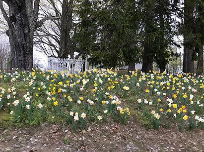 atkinson daffodils.JPG