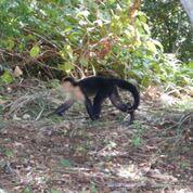 Capuchin monkey, Isla Coiba