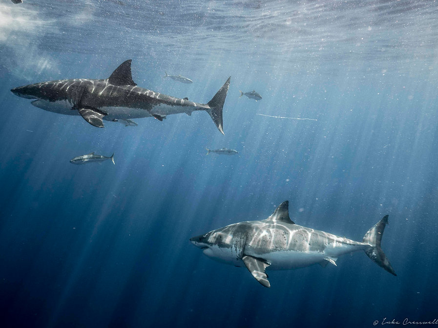 10-2016-Great_White_Shark_©ICresswell000