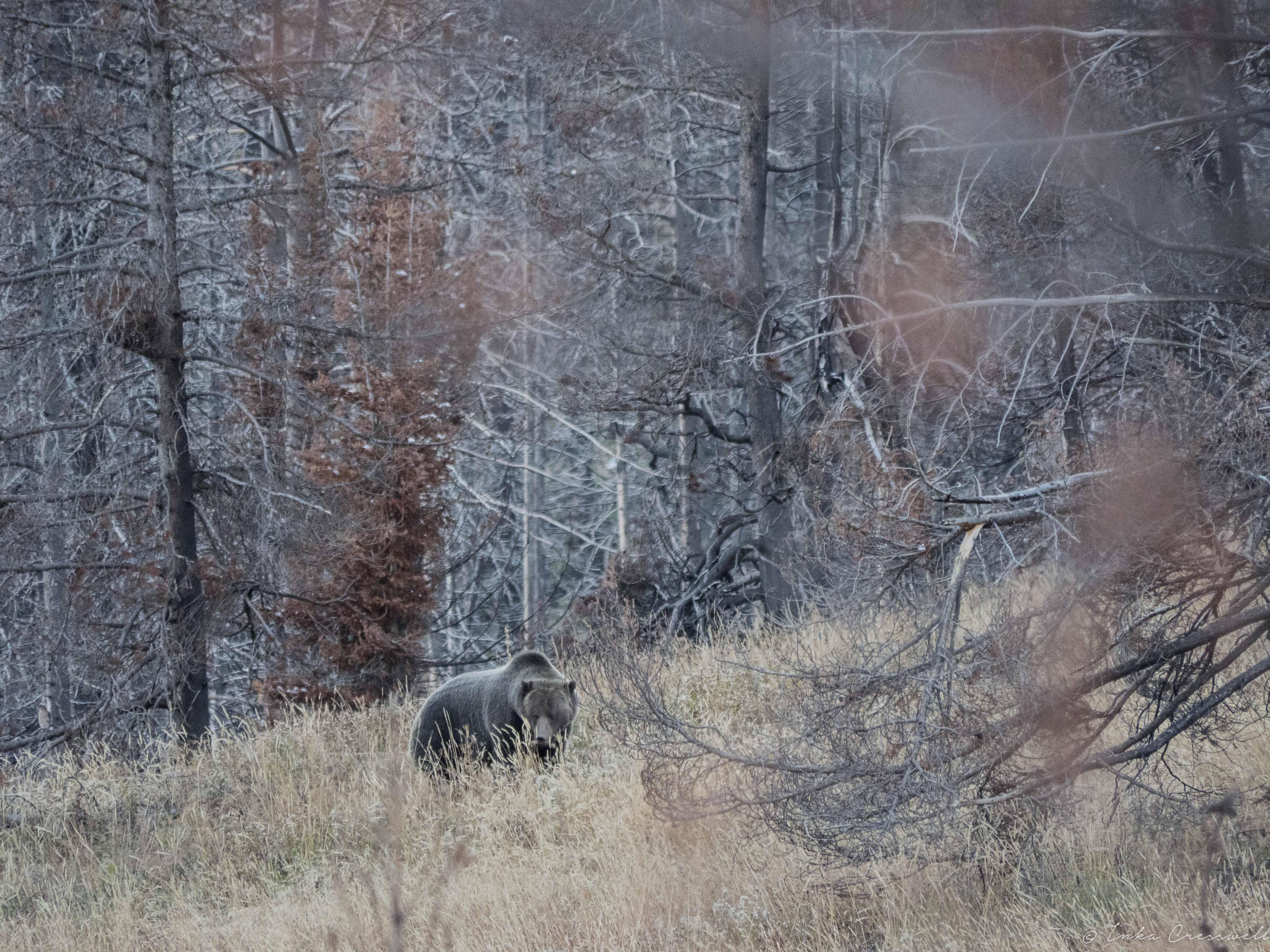 10-2017-Yellowstone_©ICresswell00020