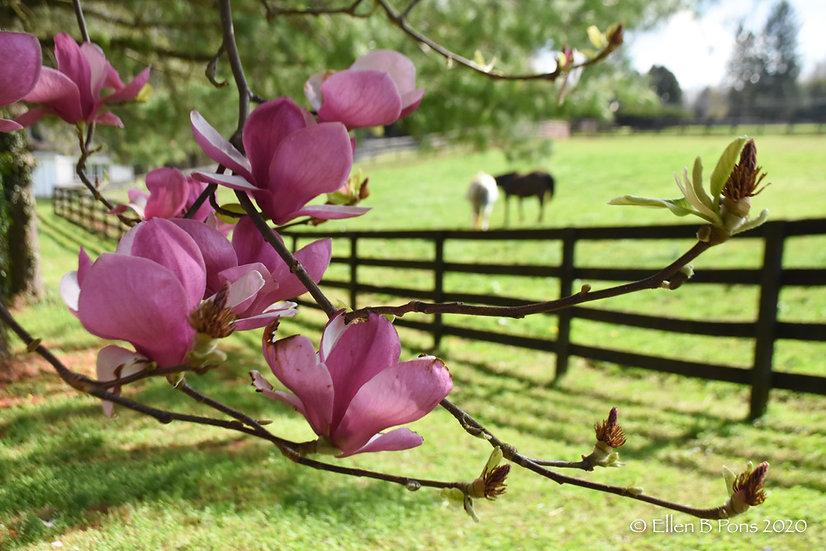 Magnolia & Mares