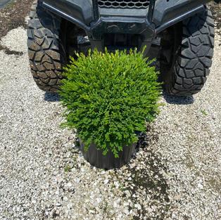 Buxus x 'Green Gem'