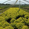 Spiraea 'Gold Mound'