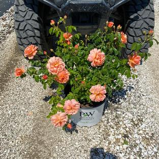 Rosa x At Last®