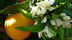 neroli plant