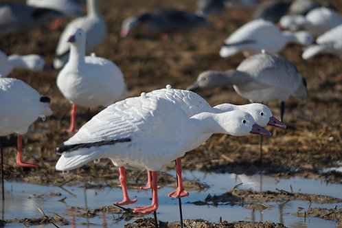 Snow/Juvy  Geese Per 12