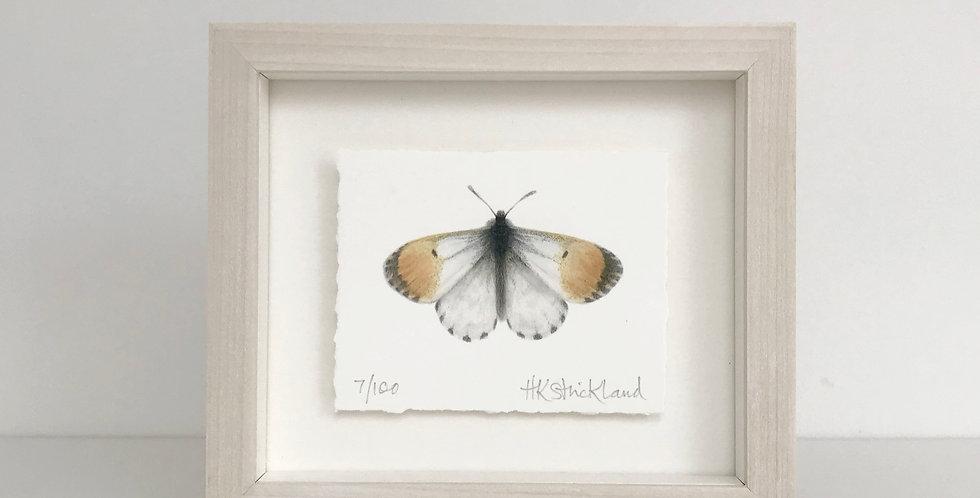 Orange Tip Butterfly framed print (available unframed)