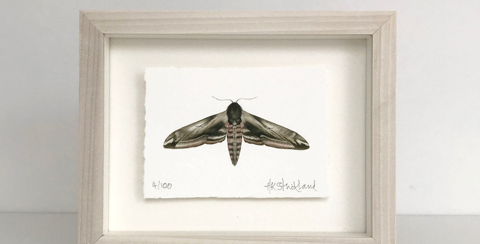 Privet Hawk Moth framed print (available unframed)