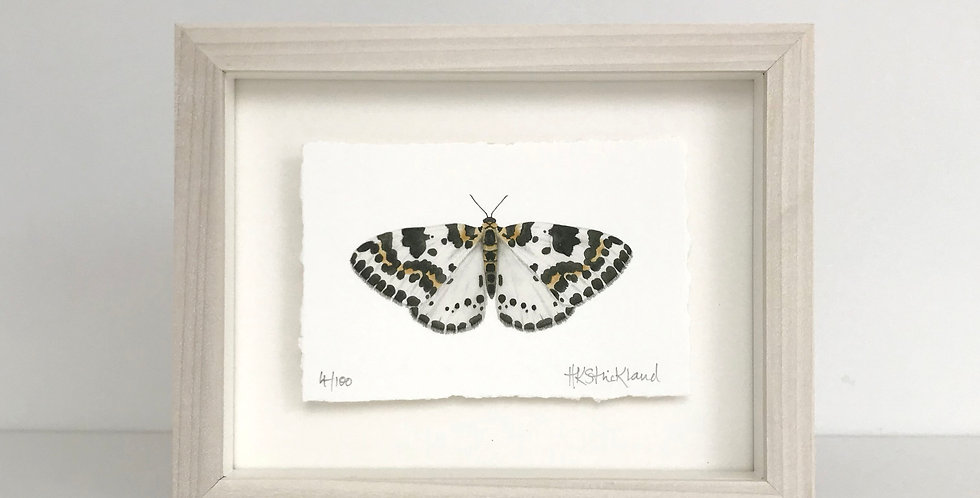 Magpie Moth framed print (available unframed)