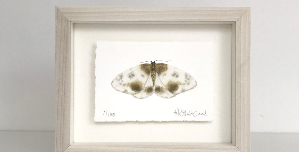 Clouded Magpie Moth framed print (available unframed)