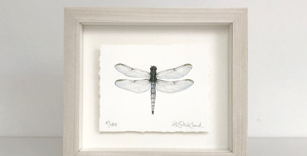 Keeled Skimmer Dragonfly framed print (available unframed)