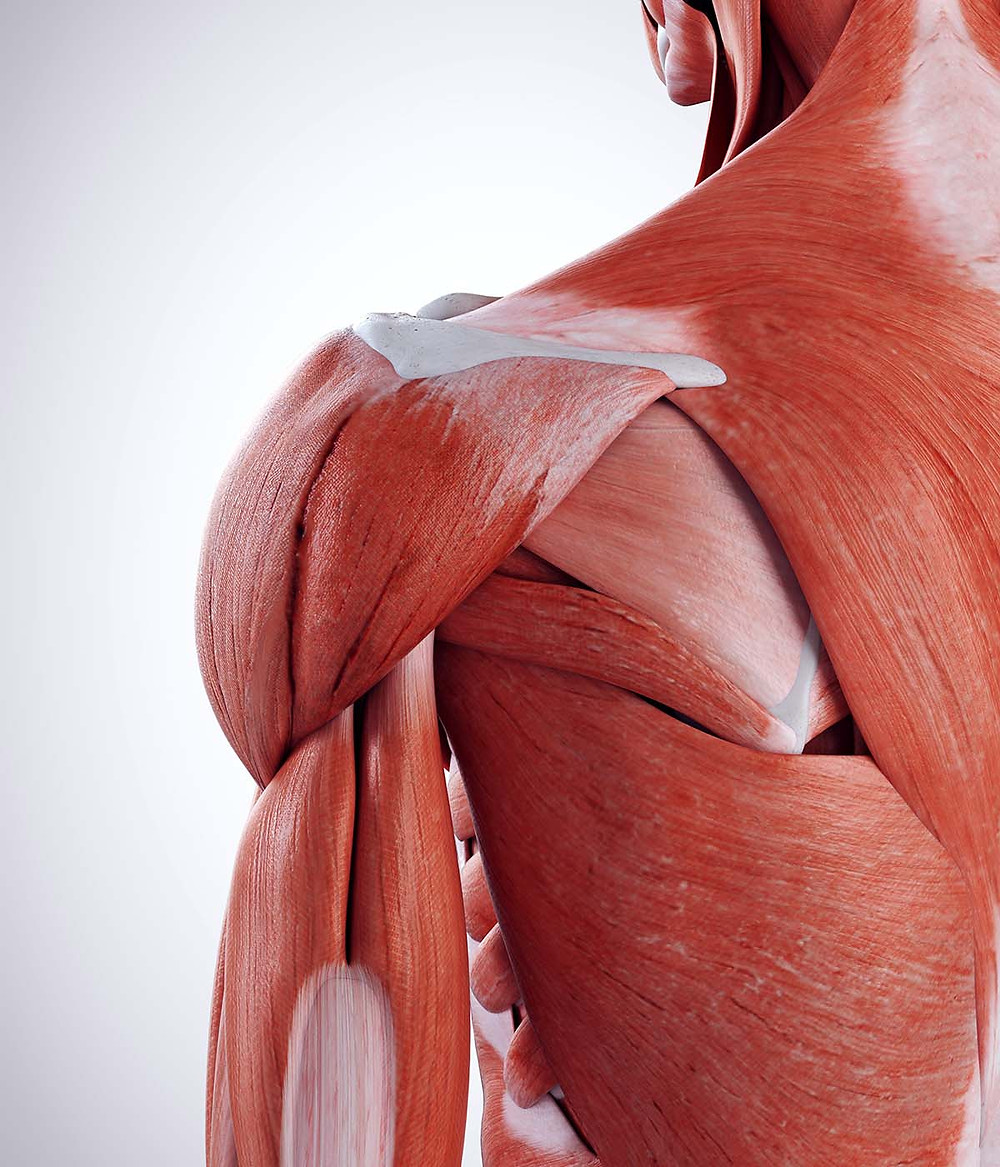 Lateral and posterior deltoid muscle anatomy