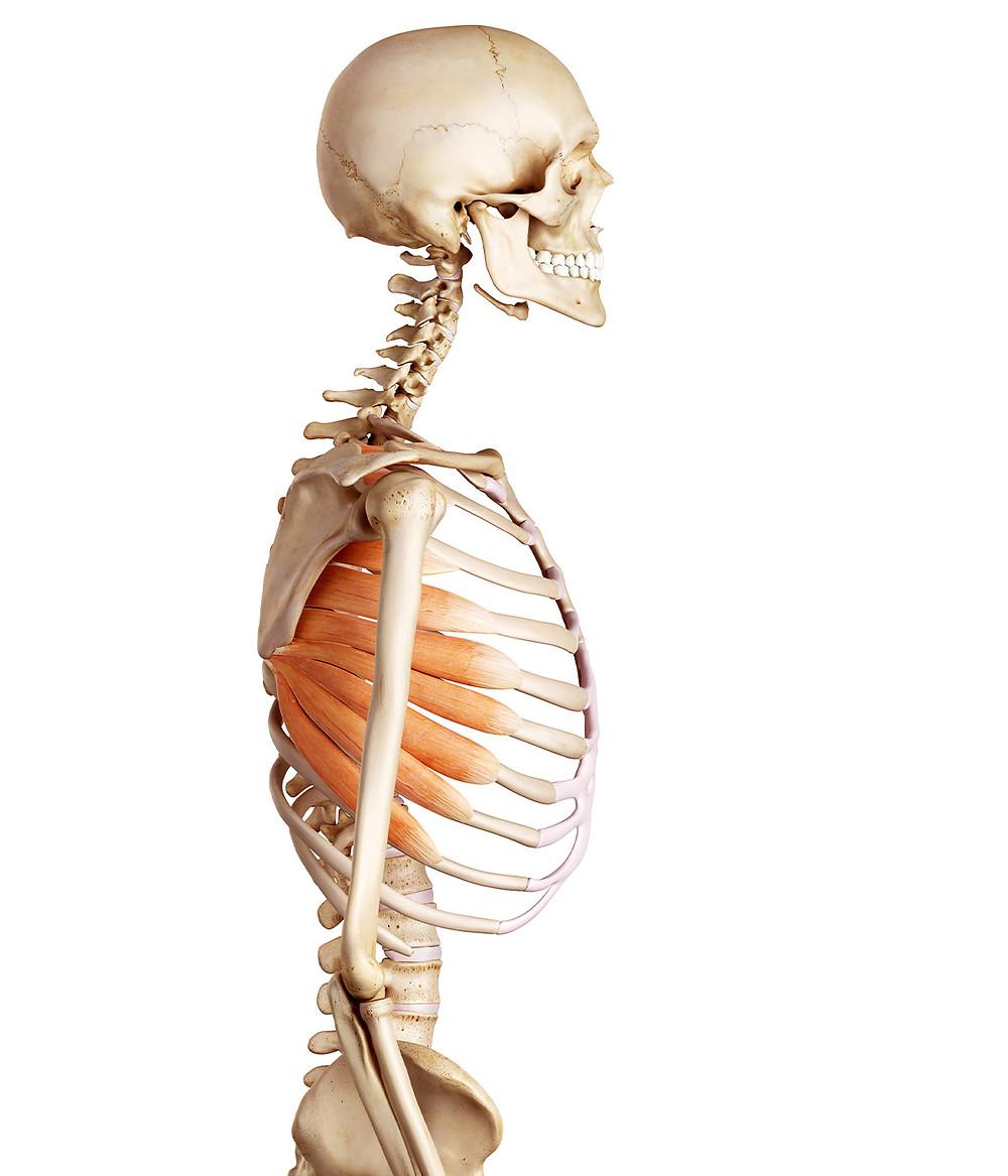 Skeleton | Align Chiropractic