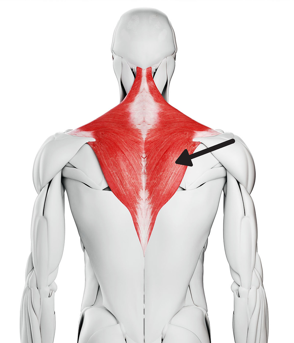 Trapezius anatomy and lower trap weakness