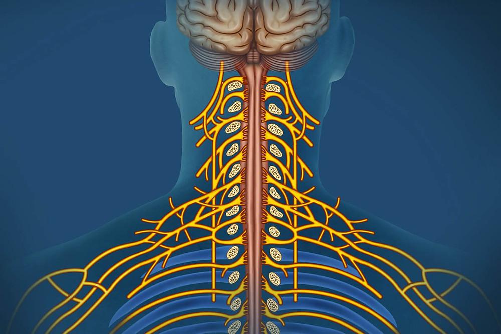 SNS PNS Nervous System chart on neck nerves